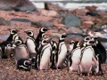 Game Penguin Jigsaw. Play online